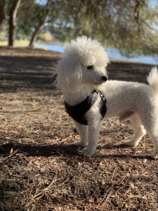 Purebred Miniature Poodle  Listing Image