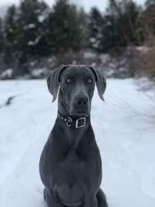 2 Year Old Blue Weim  Listing Image