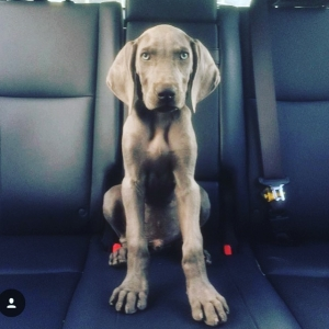 2 Year Old Blue Weim  Listing Image Thumbnail