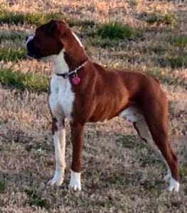 Championship Line Boxer - Ready For Stud Listing Image