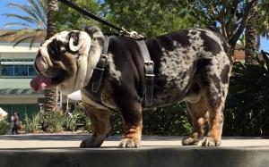 Stud English Bulldog Listing Image