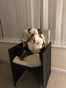 Stud bulldog  Listing Image