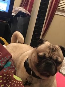 Pug Listing Image