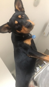 Male kelpie looking for a gf  Listing Image