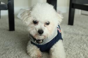 CKC Registered Toy Poodle Listing Image