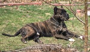 Presa Canario dog Listing Image