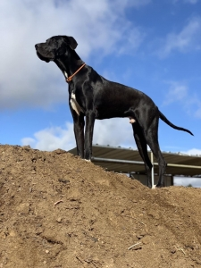 Black and white Great Dane Listing Image