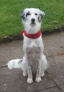 White border collie semi-long hairs looking Listing Image