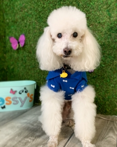 Male poodle looking for girlfriend Listing Image