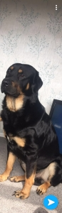Beautiful Rottweiler X stud  Listing Image Thumbnail