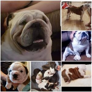 Stunning English bulldog Listing Image
