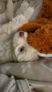 Toy poodle for stud. Listing Image
