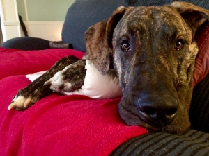 Young Brindle Great Dane Stud Listing Image