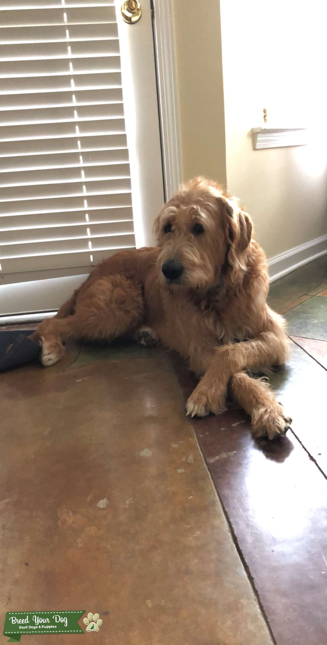 Male Labradoodle looking for a Standard Poodle mate Listing Image Big