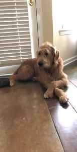 Male Labradoodle looking for a Standard Poodle mate Listing Image