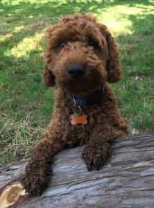 Red Moyen Poodle Listing Image