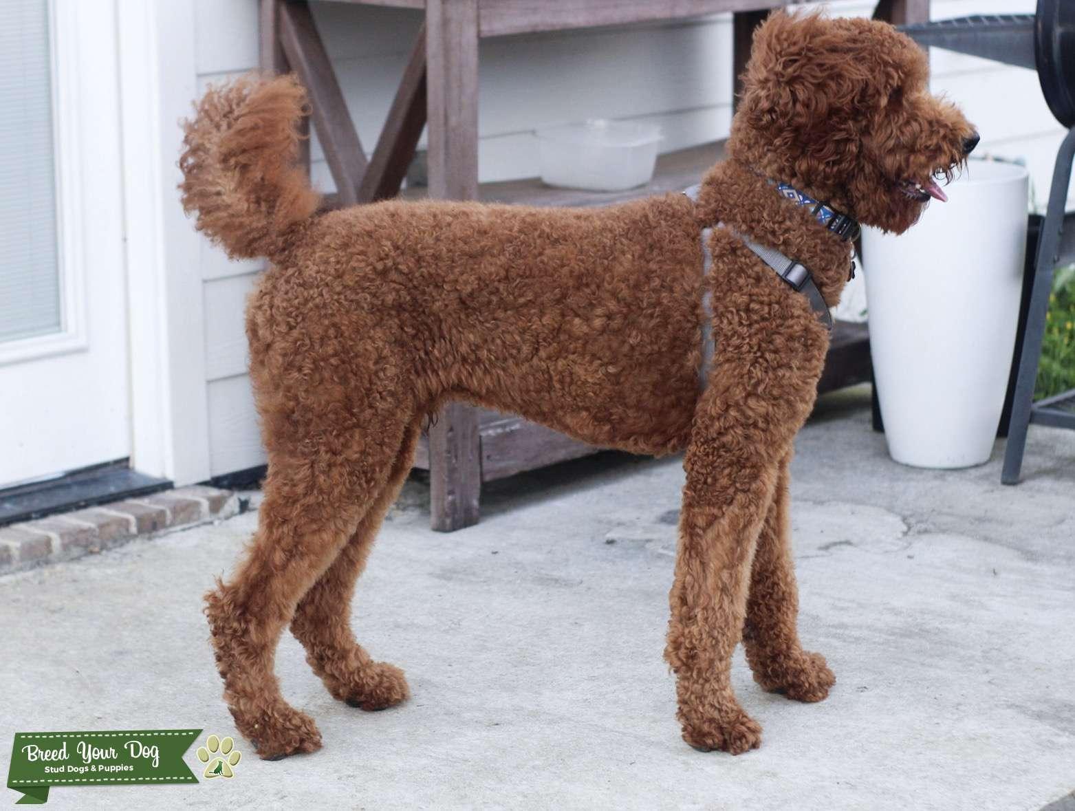 Dark Red Standard Poodle Stud Listing Image Big