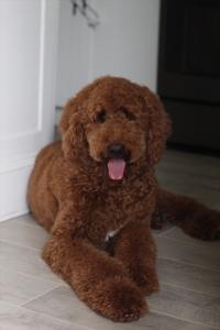 Dark Red Standard Poodle Stud Listing Image Thumbnail