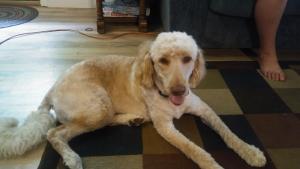 Riley Ann F1b Registered Goldendoodle Listing Image