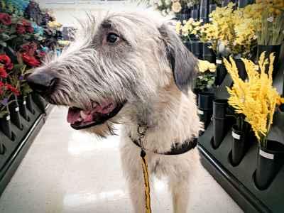 Fawn Irish Wolfhound Listing Image