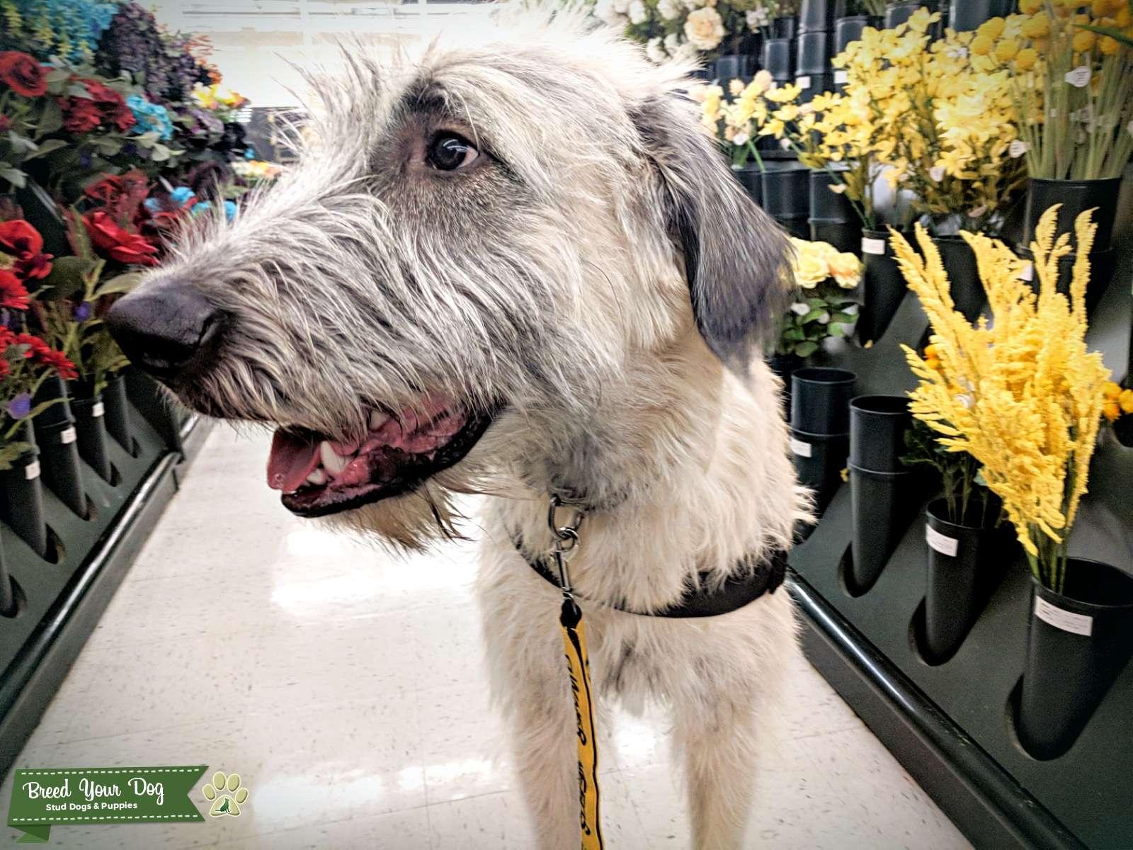 Fawn Irish Wolfhound Listing Image Big