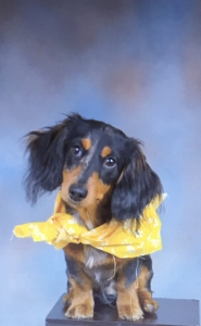 Miniature Dachshund (Long Haired) Listing Image