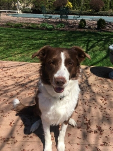 Red/White Border Collie Listing Image