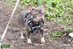Lilac and Tan French bulldog  Featured Image