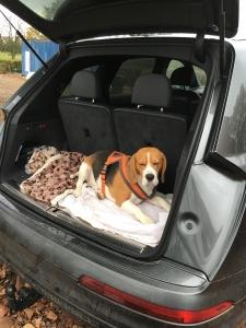 Kc reg Beagle dog for stud  Listing Image