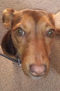Looking for Chocolate Jack Russell Stud Listing Image