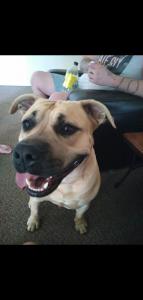 Tanned American Bulldog X Bullmastiff X Staffy Listing Image