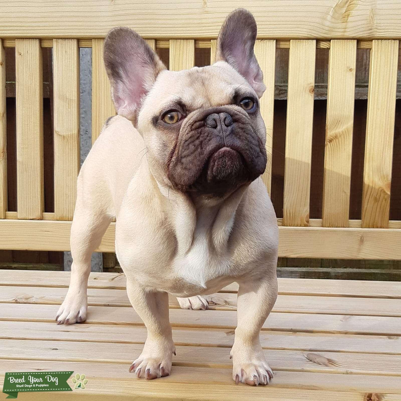 Stud Dog Chocolate Fawn French Bulldog For Stud Breed