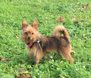 Mixed Pomeranian/Yorkshire Terrier Looking for Male Friend Listing Image