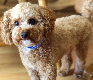 Red Toy Poodle Listing Image
