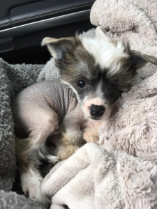 Male Chinese Crested available for stud Listing Image