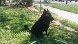 Beautiful Schipperke for Stud Listing Image
