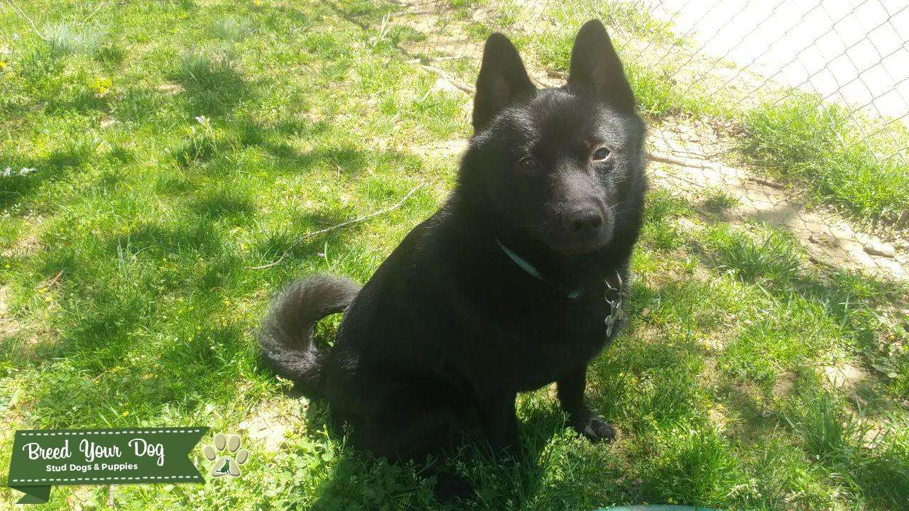 Beautiful Schipperke for Stud Listing Image Big