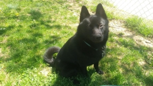 Beautiful Schipperke for Stud Listing Image Thumbnail