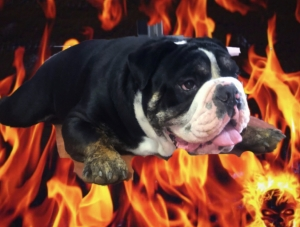 English Bulldog Stud Listing Image Thumbnail
