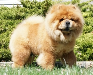 Harvey Chinese Import Chow Chow Listing Image