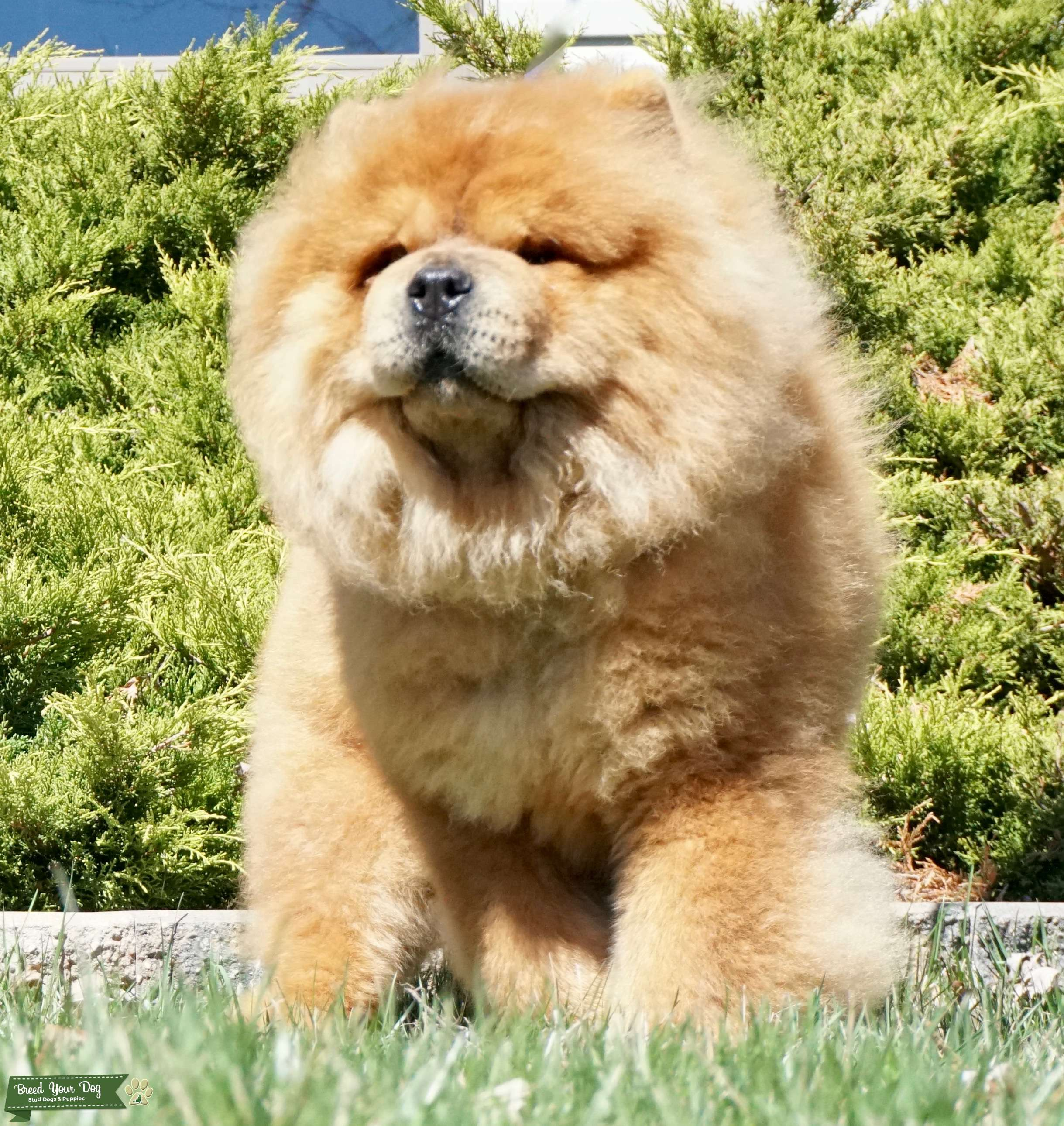 Stud Dog - Harvey Chinese Import Chow Chow - Breed Your Dog