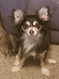 Long haired Applehead Chihuahua  Listing Image