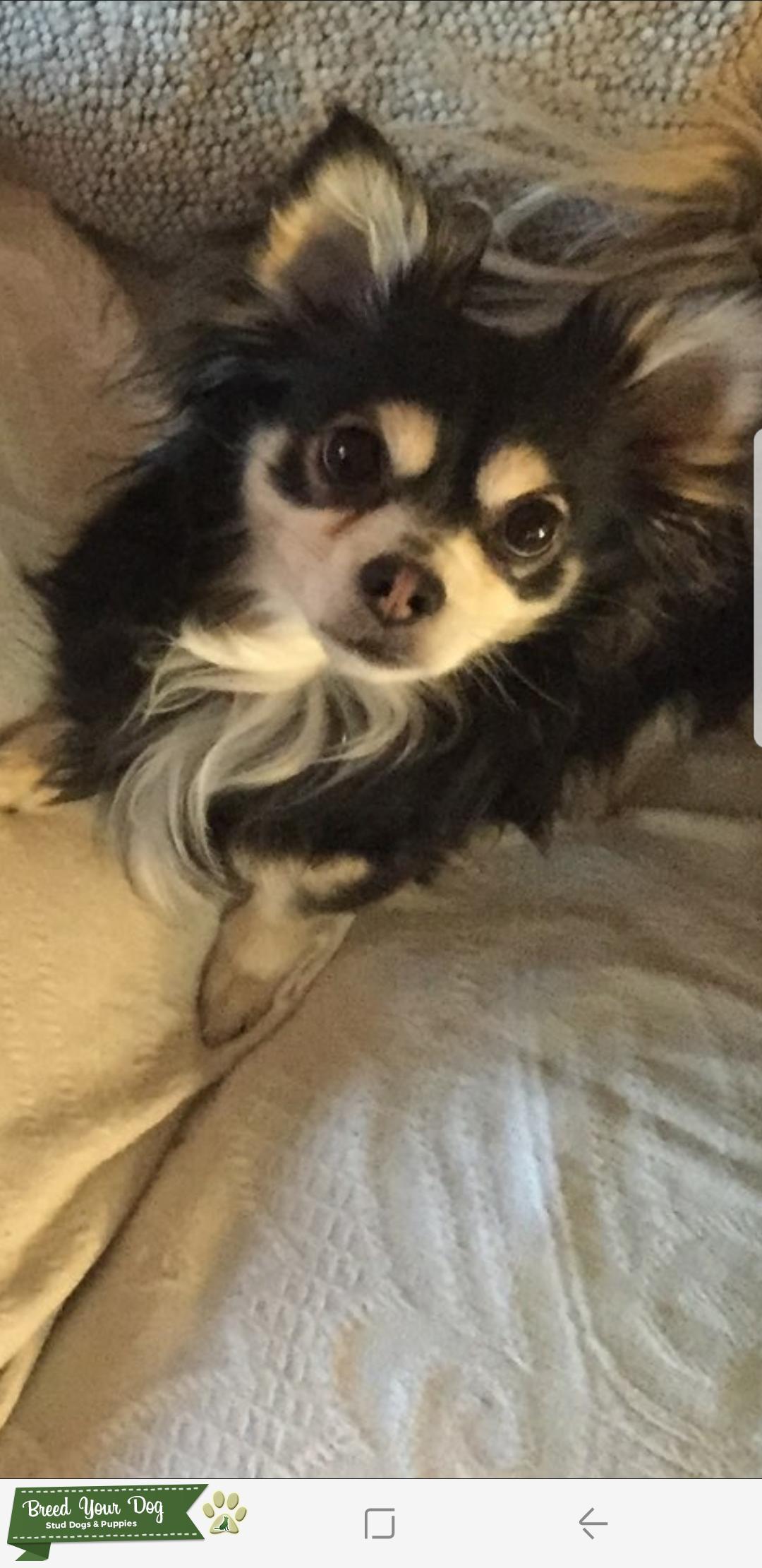 Long haired Applehead Chihuahua  Listing Image Big