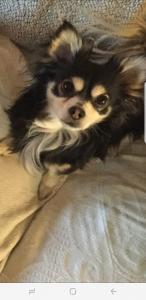 Long haired Applehead Chihuahua  Listing Image Thumbnail