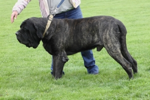 AKC English Mastiff Listing Image