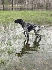 White Male German Shorthaired Pointer