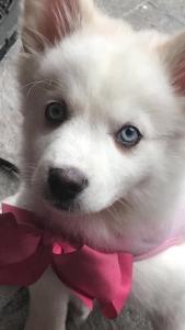 White blue eyes Pomsky  Listing Image