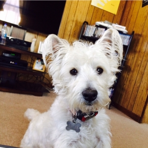Gorgeous, friendly male Westie  Listing Image