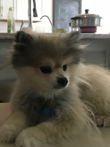 POM POMERANIAN LOOKING TO PASS ON HIS BEAUTIFUL GENES Listing Image