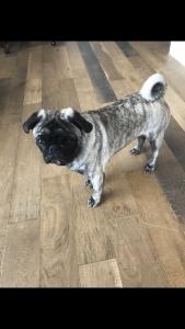 Pure Bred Brindle Pug Listing Image
